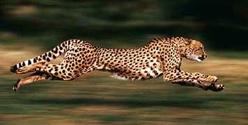How Fast Do Cheetahs Run phpLD 4.2.1 Rel...